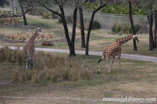 Some giraffes chillin' at the Animal Kingdom Lodge