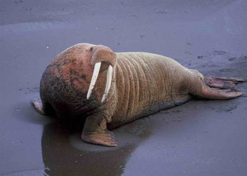 Walrus-on-the-beach